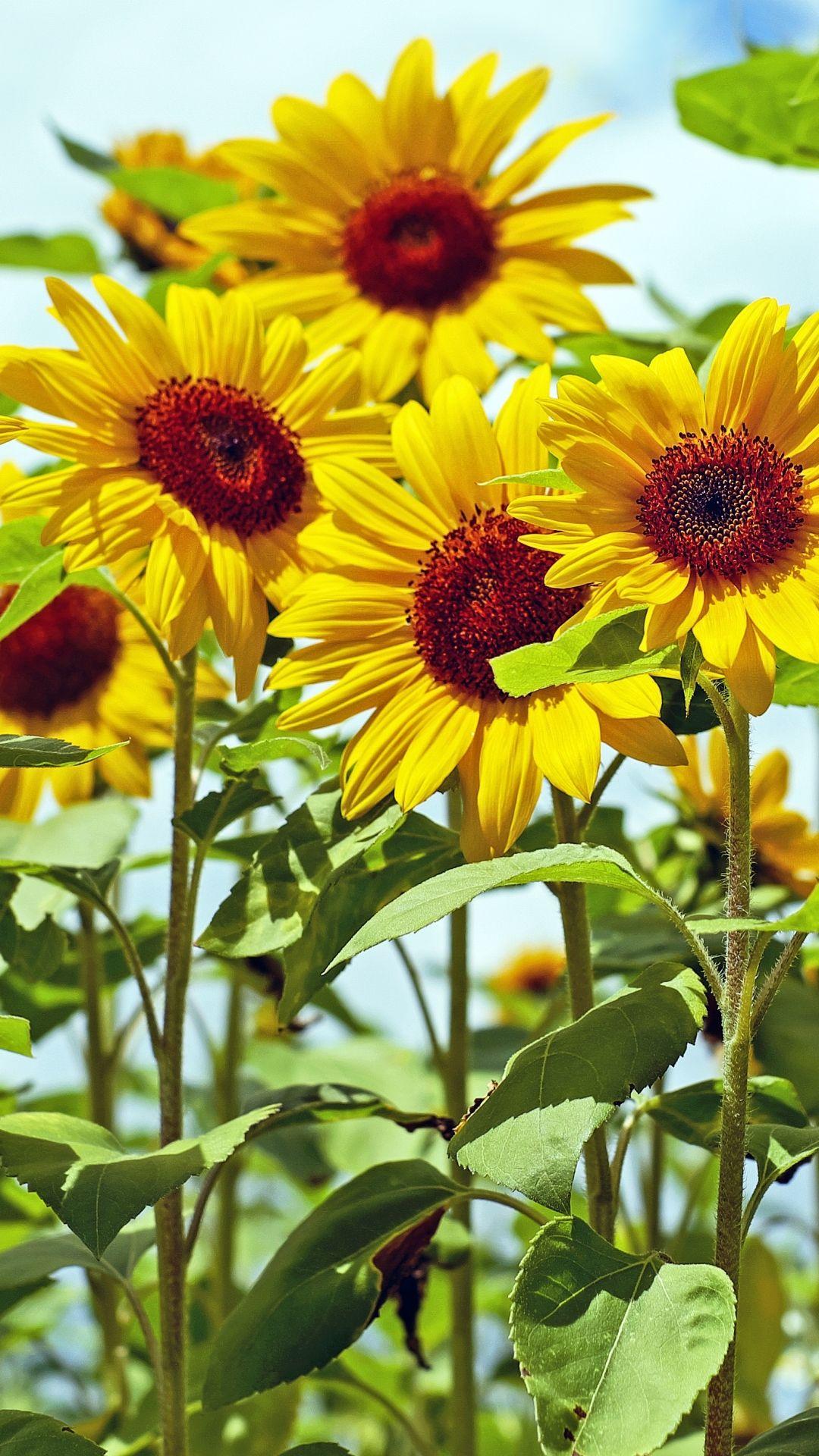 Yellow Flowers Iphone Picture Is 4K Wallpaper Papel de