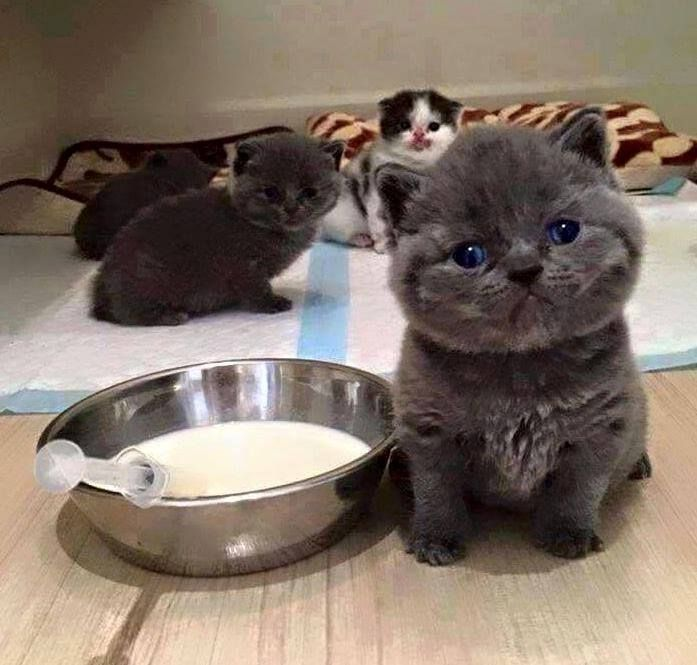 When You Realize That Milk Is No Longer Enough Chats Et Chatons