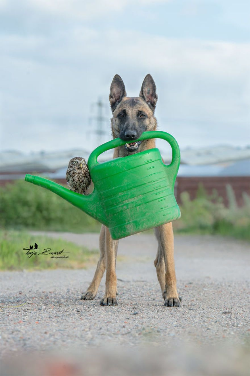These 138 Photos Of Ingo The Dog And His Owl Friends Is The Only Thing You Need To See Today Malinois Dog Belgian Malinois Dog Animals Friends
