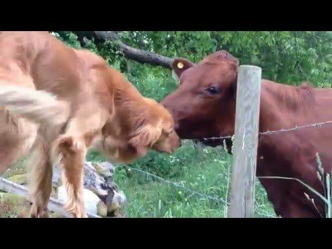 dog and cow are best friends with images  dog kisses