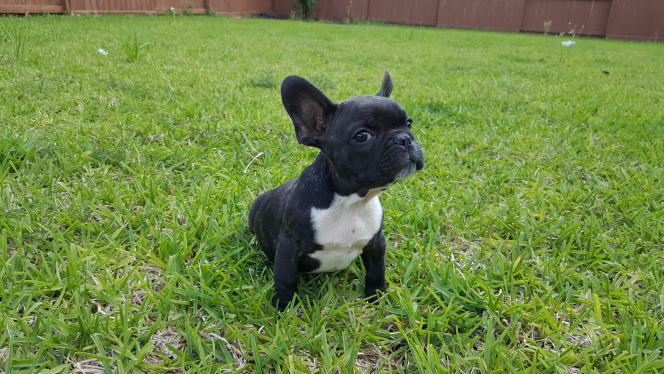 French Bulldog puppy for sale in CYPRESS, TX. ADN29281 on