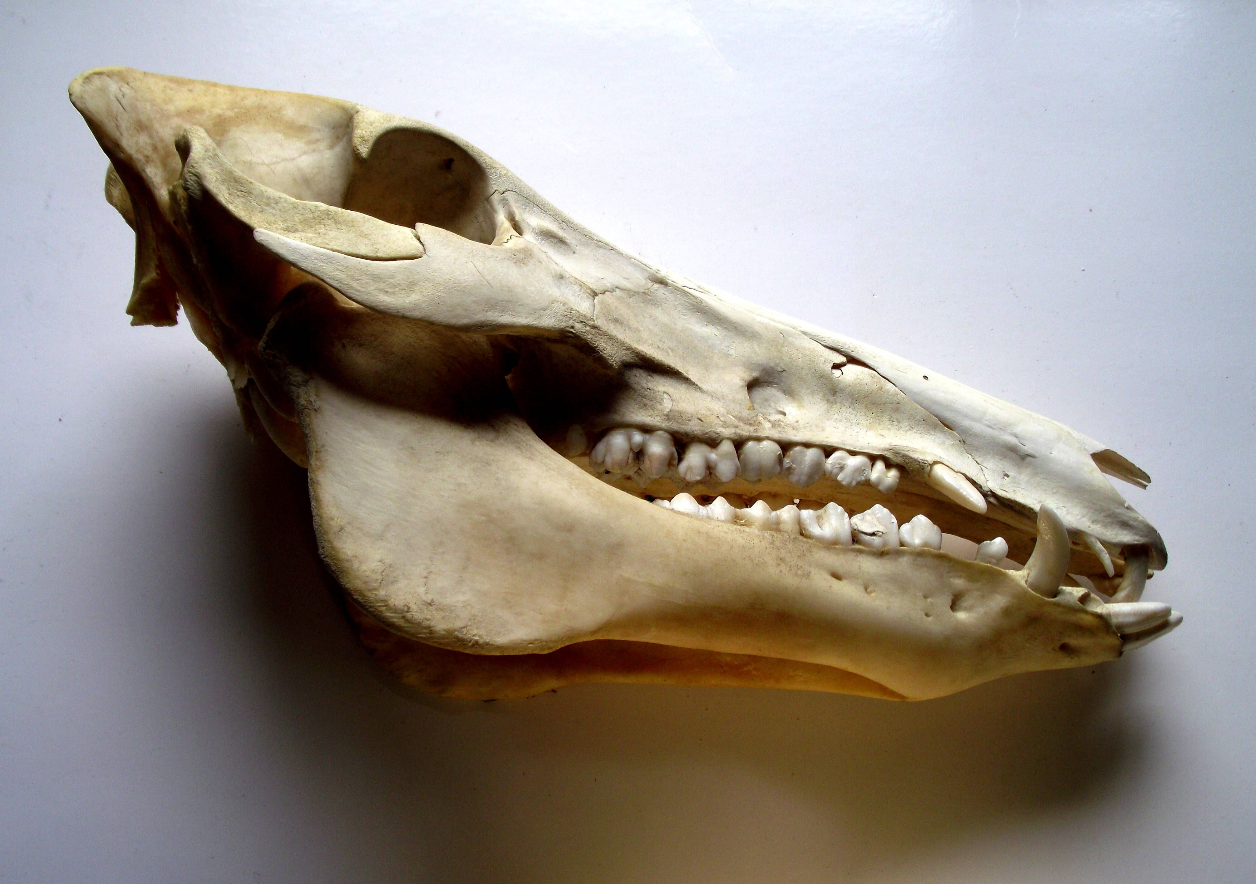 Witchcraft: (charm) Protection, Boar Skull,  Privately owned UK Westcountry Collection.  BB