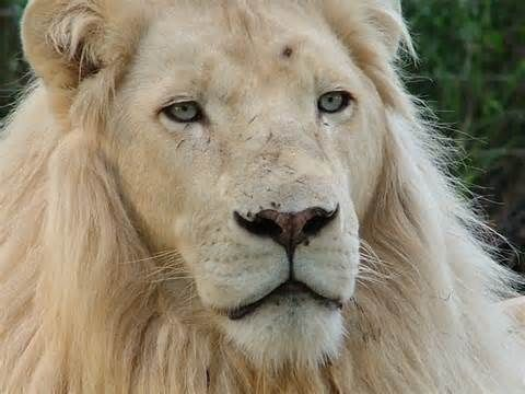 Most white lions today are descendants from these lions | javi
