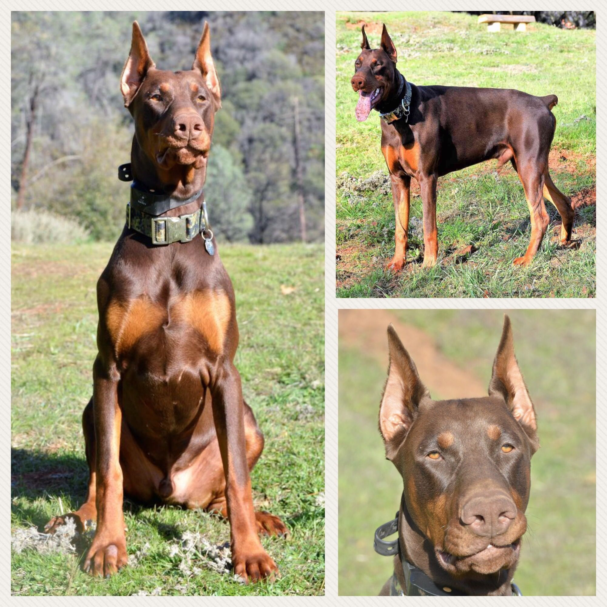 Tyrus The Flying Jawbone 9 Months Old European Doberman European Doberman Doberman Dogs