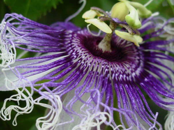 Passion Of The Christ Passion Flower Flowers Plants