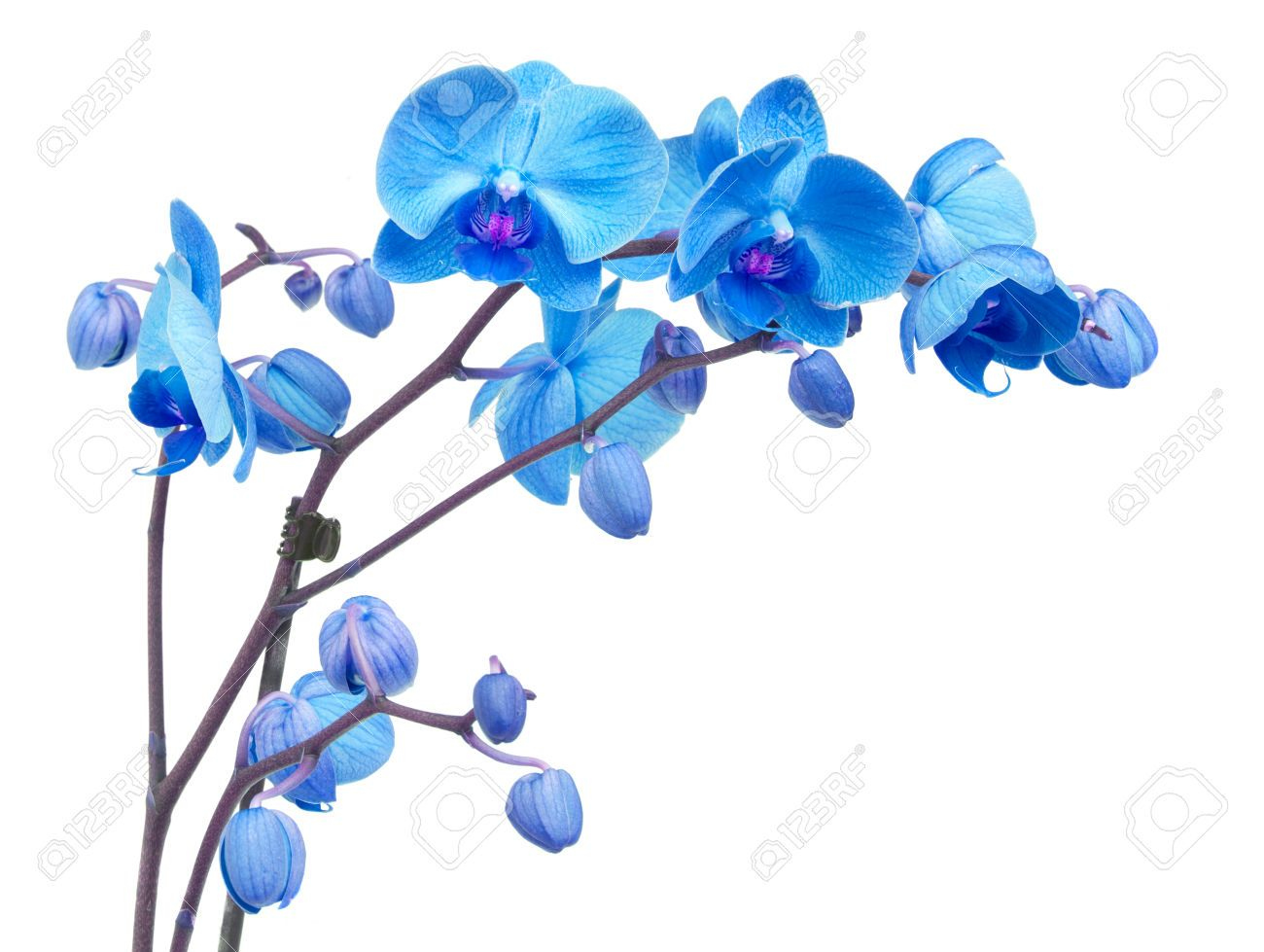 Orchid Branch With Blue Flowers Isolated On White Background Blue Flower Tattoos Blue Flowers Orchid Illustration