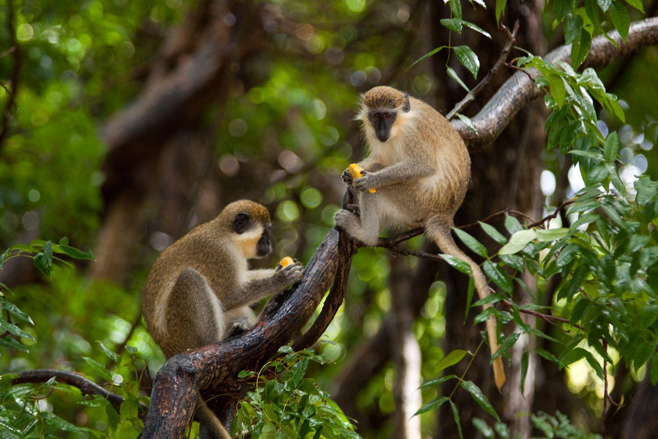 green monkeys barbados wildlife reserve green monkeys