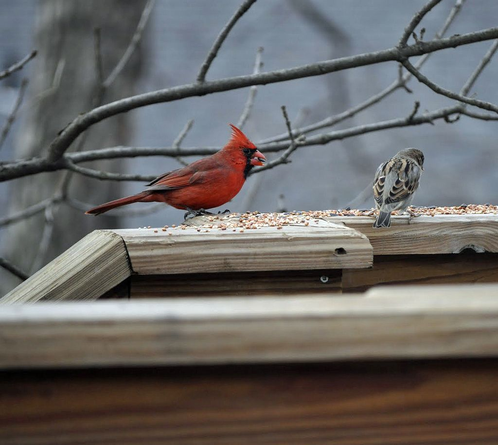 Virginia State Bird Northern Cardinal