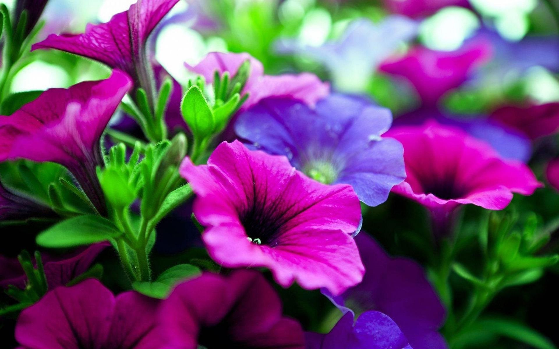 pictures of flowers Pink purple flowers Wallpapers
