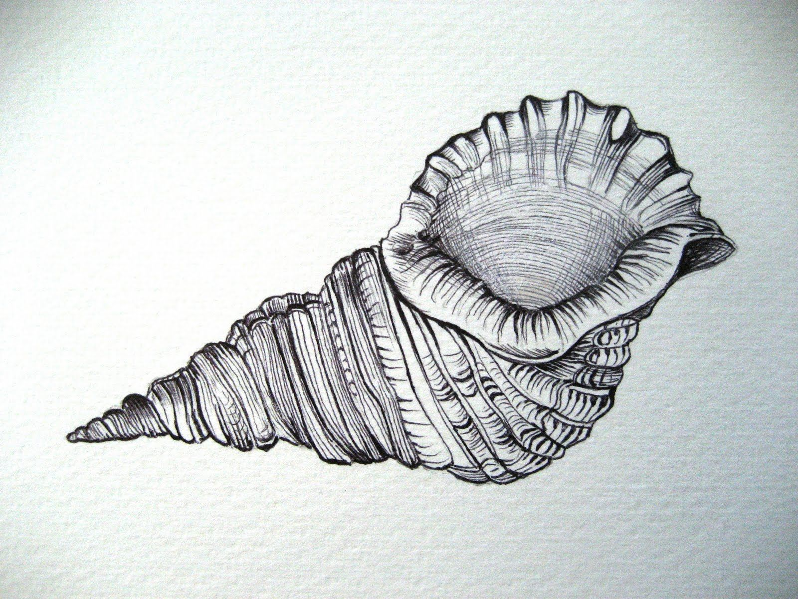 Pencil Drawings Of Seashells | www.imgkid.com - The Image ...