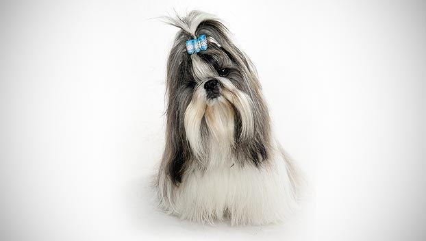 Shih Tzu Dog Breed Selector Shih Tzu Dog Breed Selector