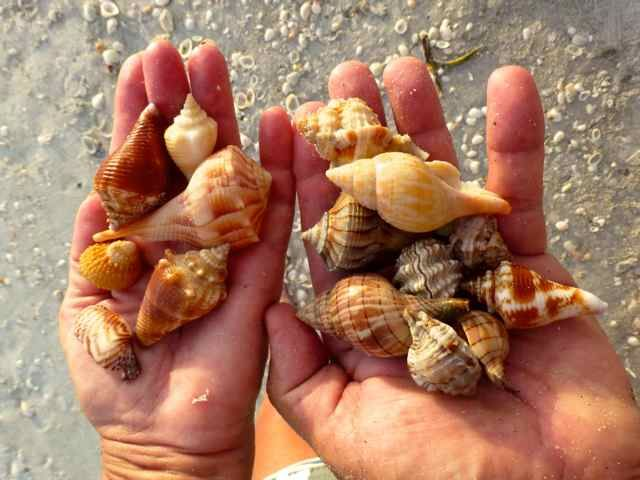 ๑ Sanibel Shelling ๑ — Catch shells by the handful at Sanibel Island beaches!