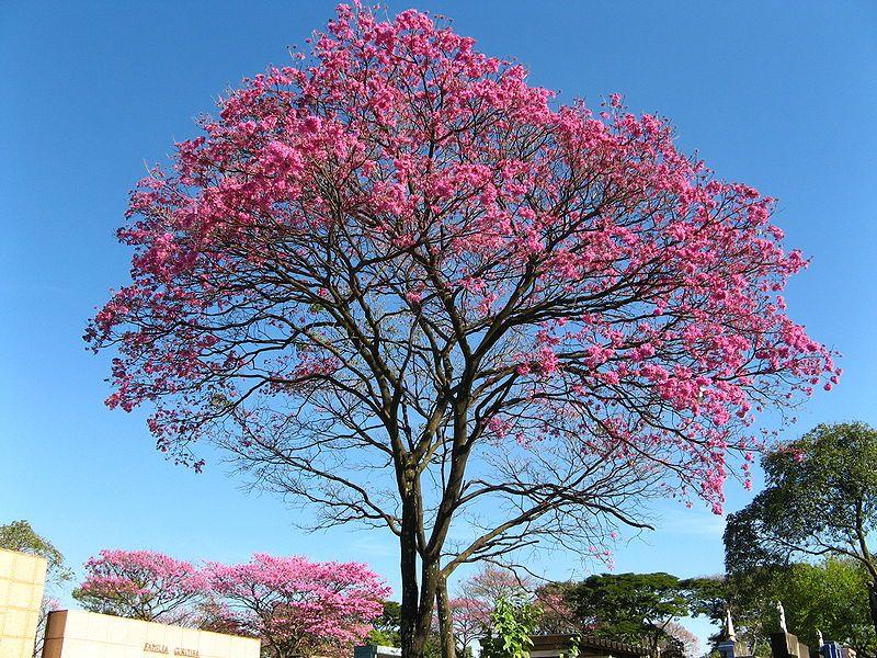 El lapacho, árbol nacional del Paraguay.