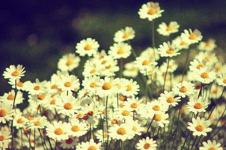 Little Daisy   Little Daisy Land   Photography wallpaper ...