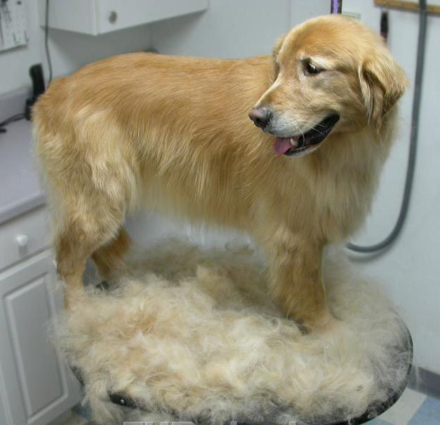 Shaving Coats Not Always Cool In Summer Smelly Dog Dog