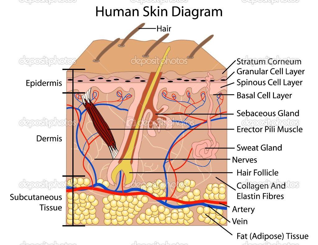 Diagrama de la Piel Humana | Human Skin Diagram | Diagramas ...