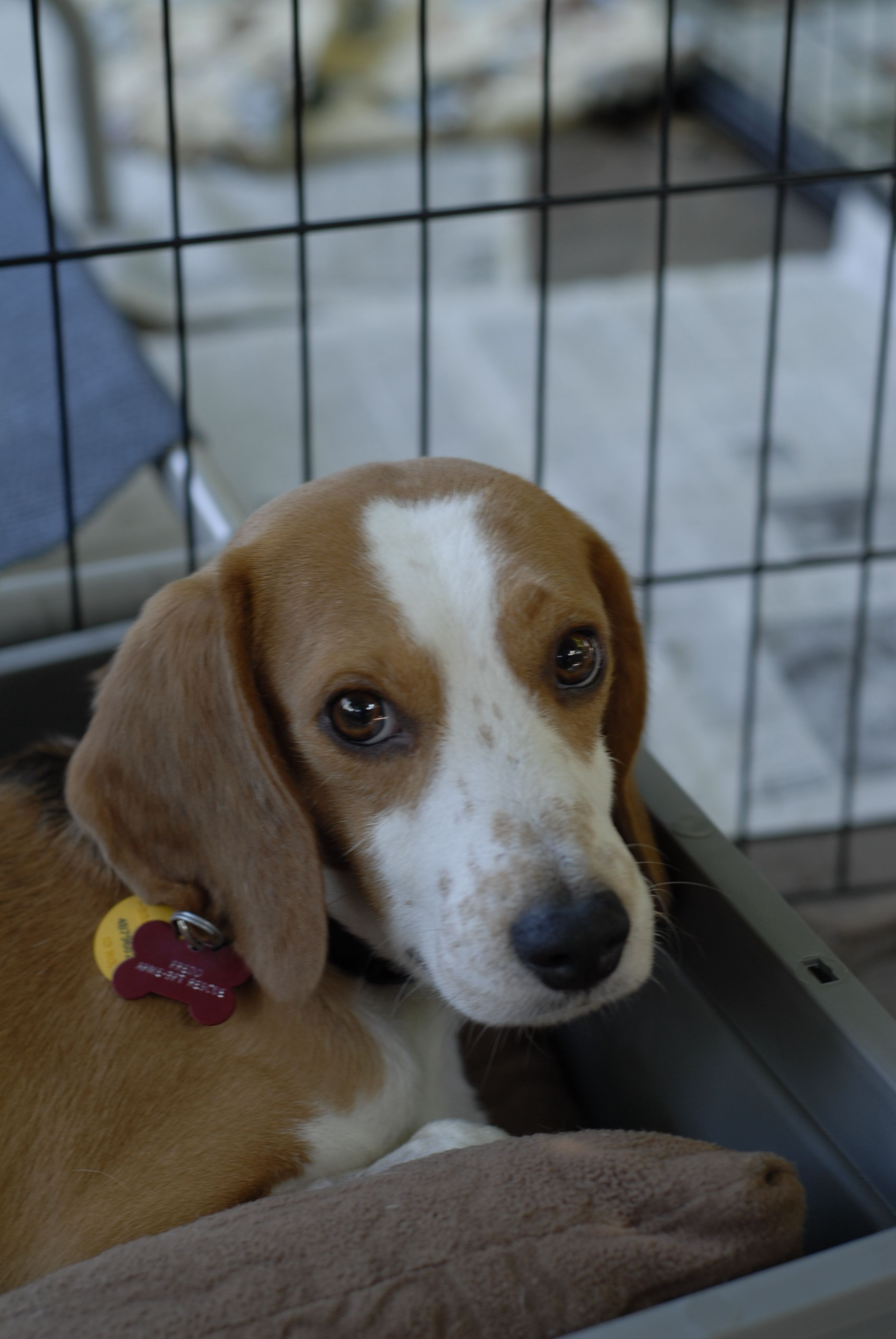 Fredo One Of The 10 Beagles We Rescued From A Laboratory In San