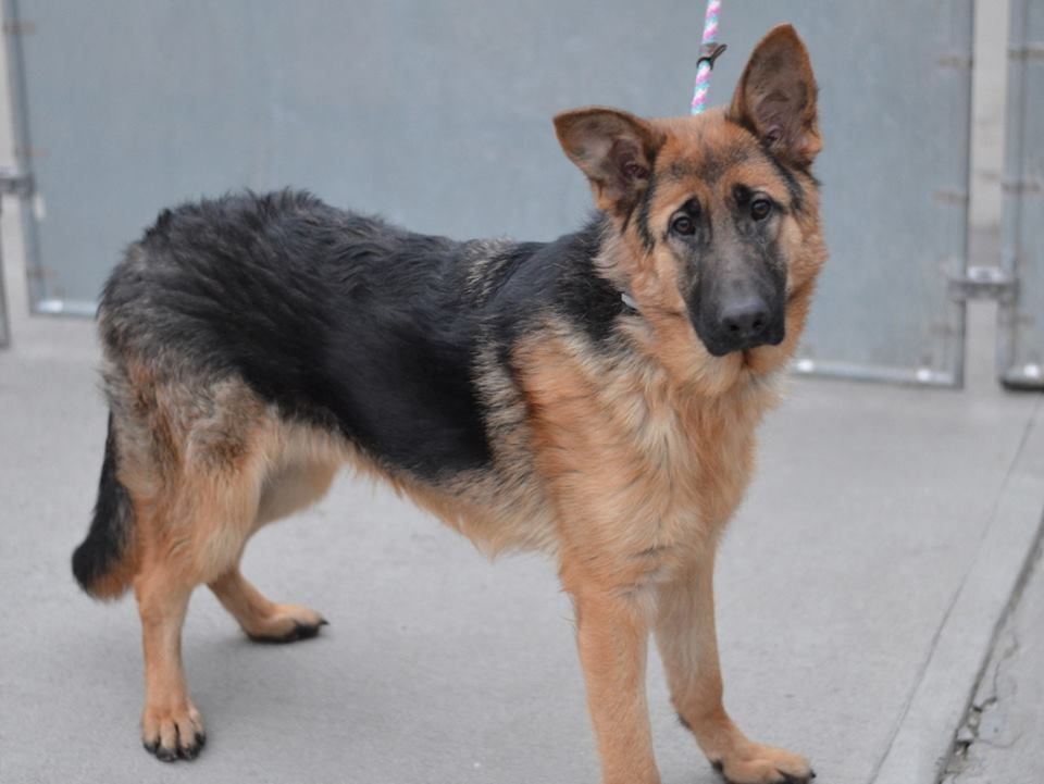 SAFE 3/17/15 ***RETURNED - 03/14/15*** SAFE --- Brooklyn Center  ADIDAS - A1022962  MALE, TAN / BLACK, GERM SHEPHERD MIX, 2 yrs STRAY - ONHOLDHERE, HOLD FOR OWNER DIED Reason STRAY Intake condition UNSPECIFIE Intake Date 12/12/2014, From NY 11434, DueOut Date 12/19/2014  https://www.facebook.com/photo.php?fbid=925432770802936