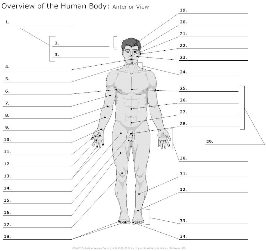 Anatomy Of The Body Worksheets Anterior View Human