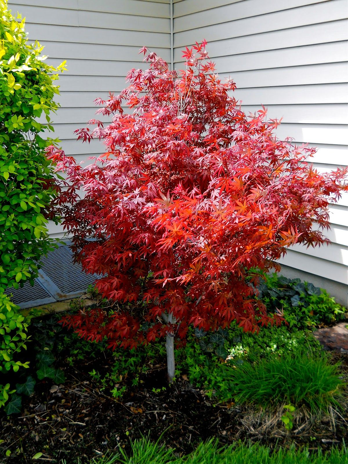 ornamental trees japanese gardens dwarf japanese maple tree - Yahoo Image Search Results