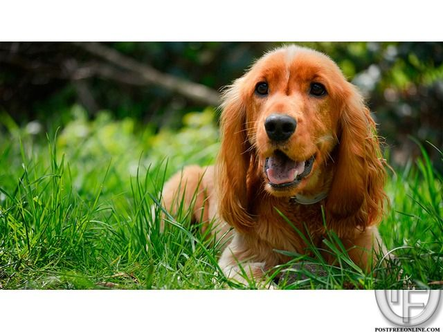 Beautiful And Cute Cocker Spaniel Dog Puppies Available For Sale In Mumbai Maharashtra India In Pet Anim Cocker Spaniel Dog Cocker Spaniel Family Dogs Breeds