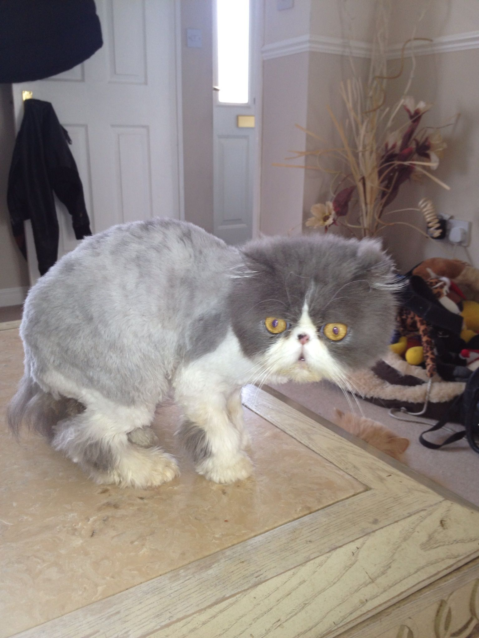 Shaved Persian cat Groomed Cat Care Pinterest