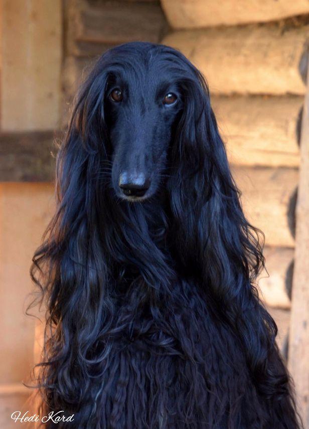 Beautiful Afghan Hound Portrait Black Hound Dog Breeds Afghan