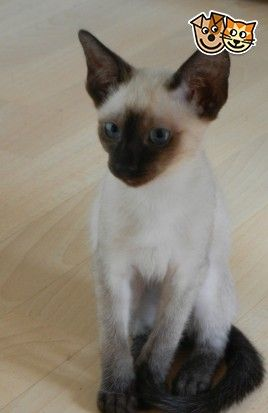 Adorable Seal Point Siamese Kittens For Sale