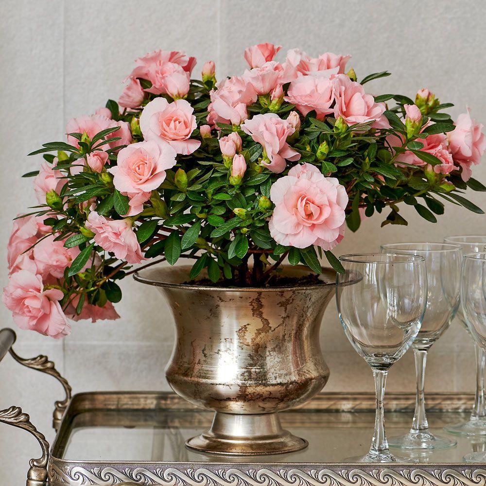 Azalea Rozalea® Pink White flower farm, Pink blossom