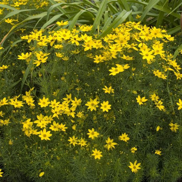 Zagreb Coreopsis Buy Online At Nature Hills Nursery In 2020 Deer Resistant Perennials Perennials Online Plant Nursery