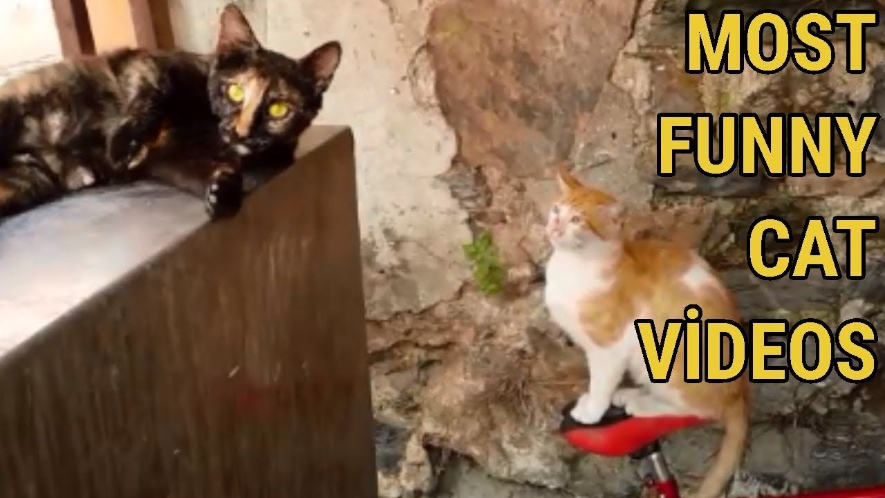 Most Funny Cat Videos Female Cat In Heat Attracting Male Cat