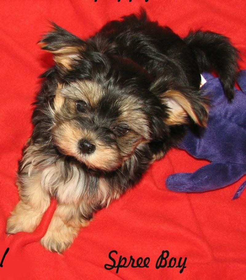 Hold me back morkie puppies morkie puppies for sale