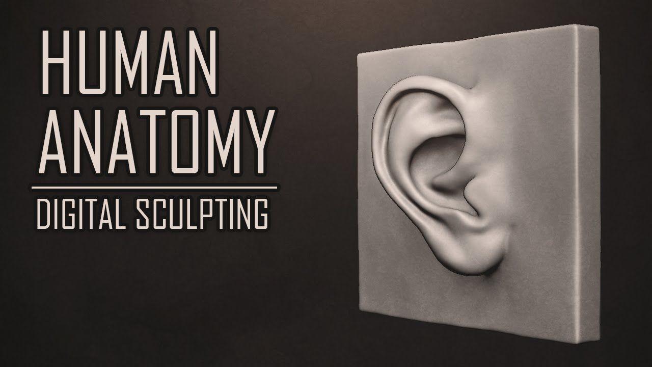 ZBrush Human Anatomy - Ears | 3d knowledge | Pinterest | Human ...