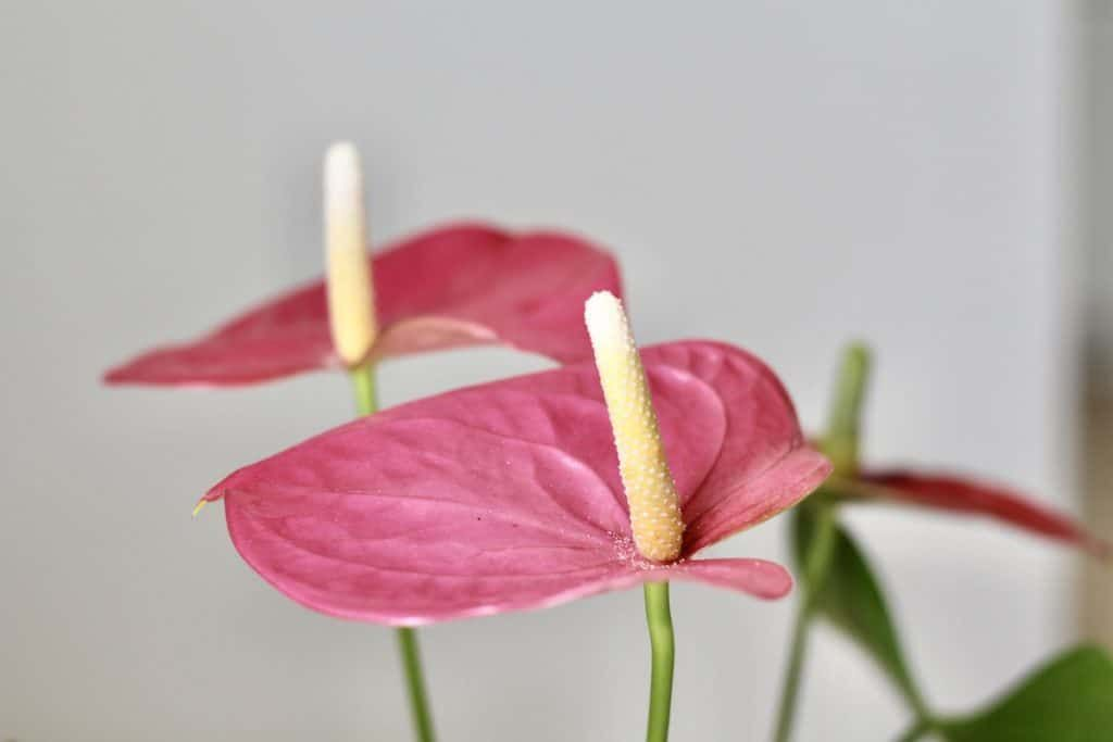 Anthurium The Ultimate Guide To Flowering Anthurium Houseplants In 2020 Anthurium Orchid Soil Orchid Potting Mix