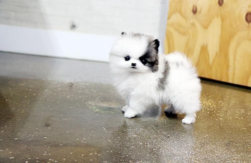 White Teacup Cheap Pomeranian Puppies For Sale In Usa And Canada Cutepuppyforsalecheap Pomeranian Puppy Pomeranian Puppy Teacup Teacup Pomeranian