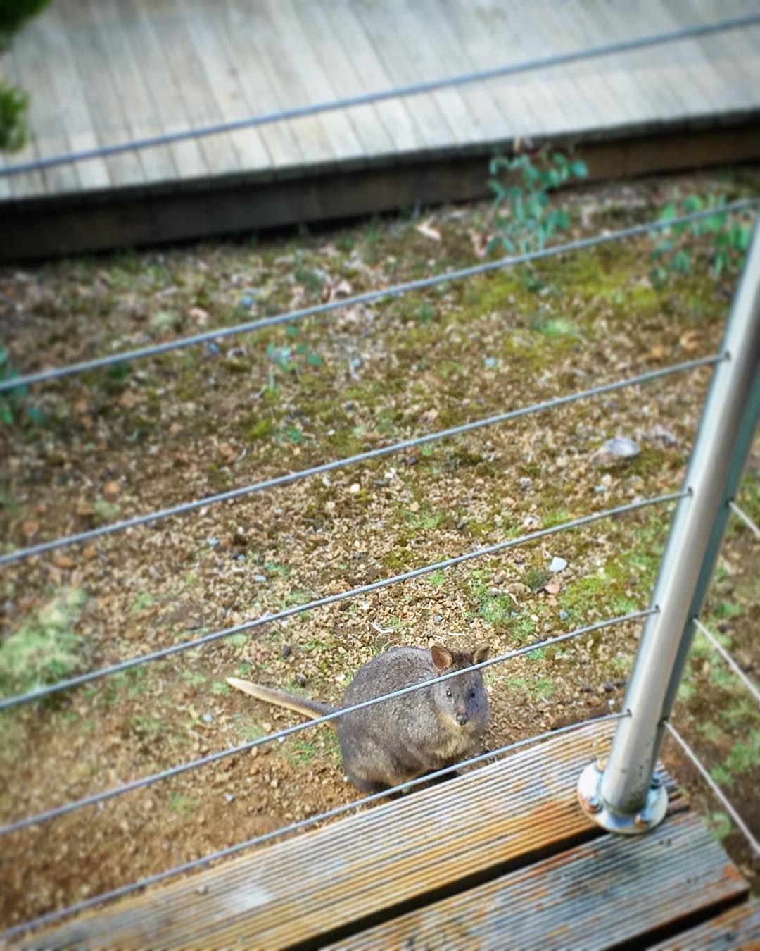 #Wallaby near balcony at #cradlemountain by dennistan84