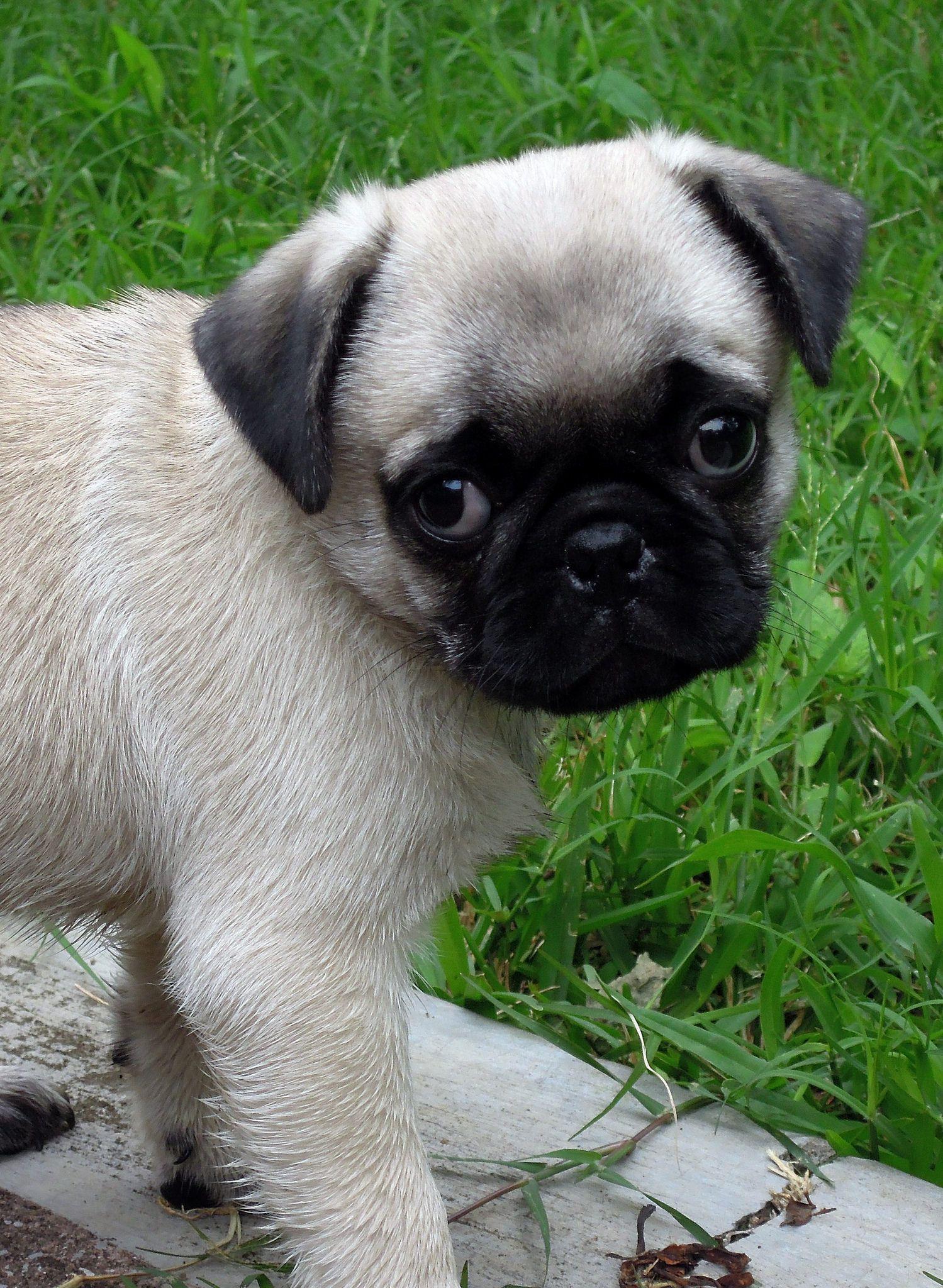 Marcus Black Pug Puppies Baby Pugs Pug Puppies
