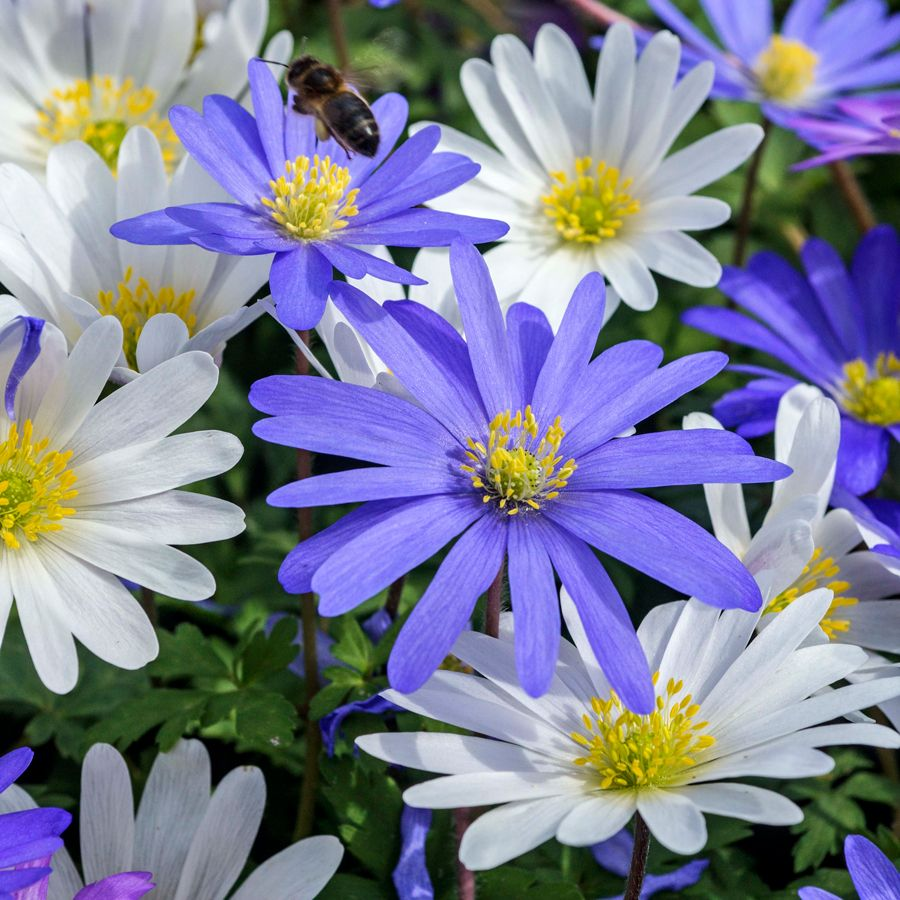 Anemone Blanda Mix Low Maintenance Garden Spring Garden Flower Pot Design