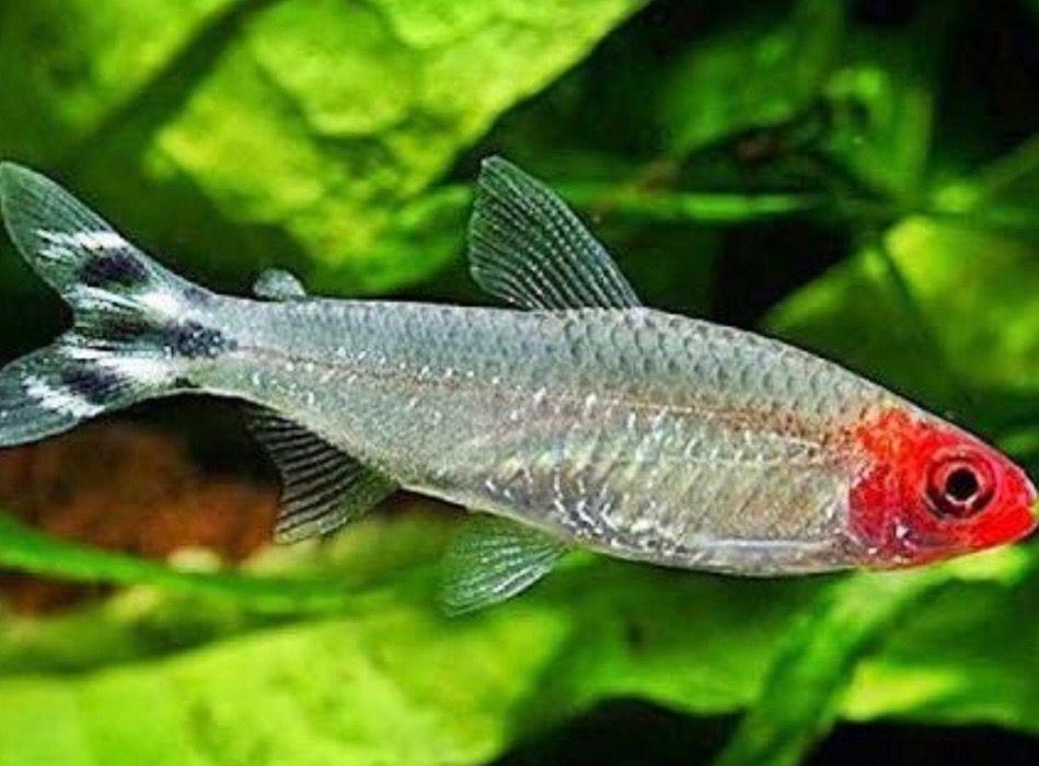 Pin By Bonbarrick On Fish Aquarium Fish Tropical Freshwater Fish Freshwater Aquarium
