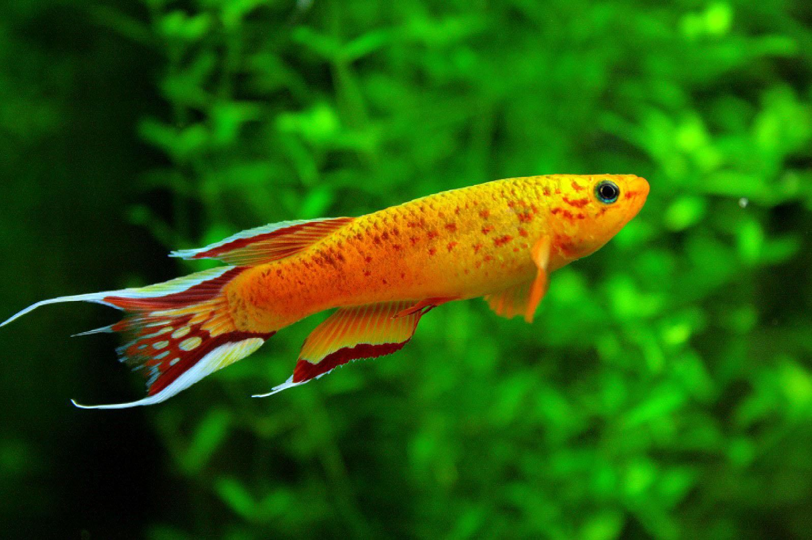 Freshwater fish tank yellow water - Freshwater Fish Tropical Discussion Tropical Fish Forums Wallpaper