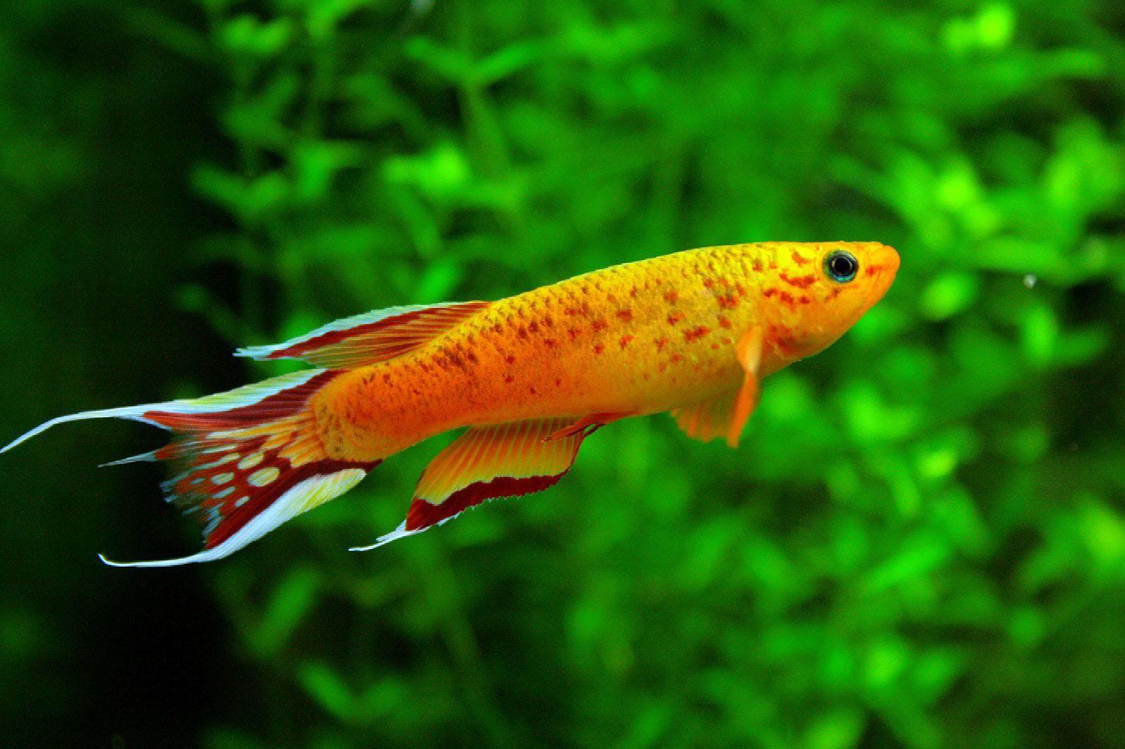 Free Wallpaper Aphyosemion Australe Fresh Water Aquarium Fish Peixes De Agua Salgada Peixes Ornamentais Peixes