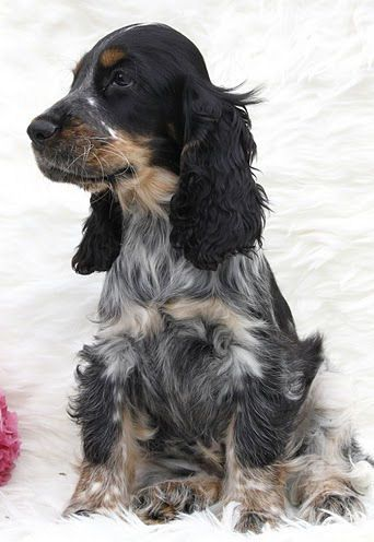 Blue Roan Tan Cocker Spaniel Dogs Cocker Spaniel Spaniel Puppies