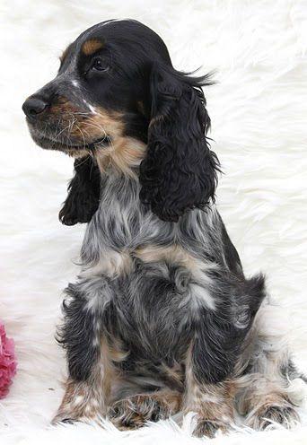 blue roan tan cocker spaniel … | dogs | Dogs,…