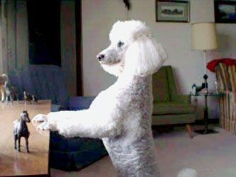 Standard Poodle Checking Out The Scene Poodle Dog Miniature