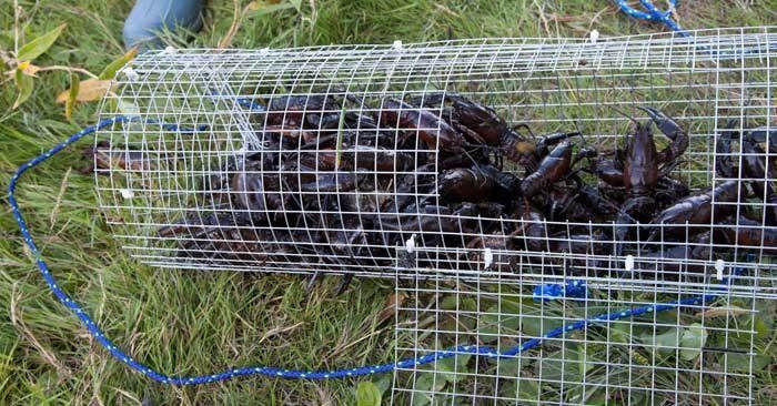 Homemade crawfish trap hunting fishing pinterest for Homemade fish traps