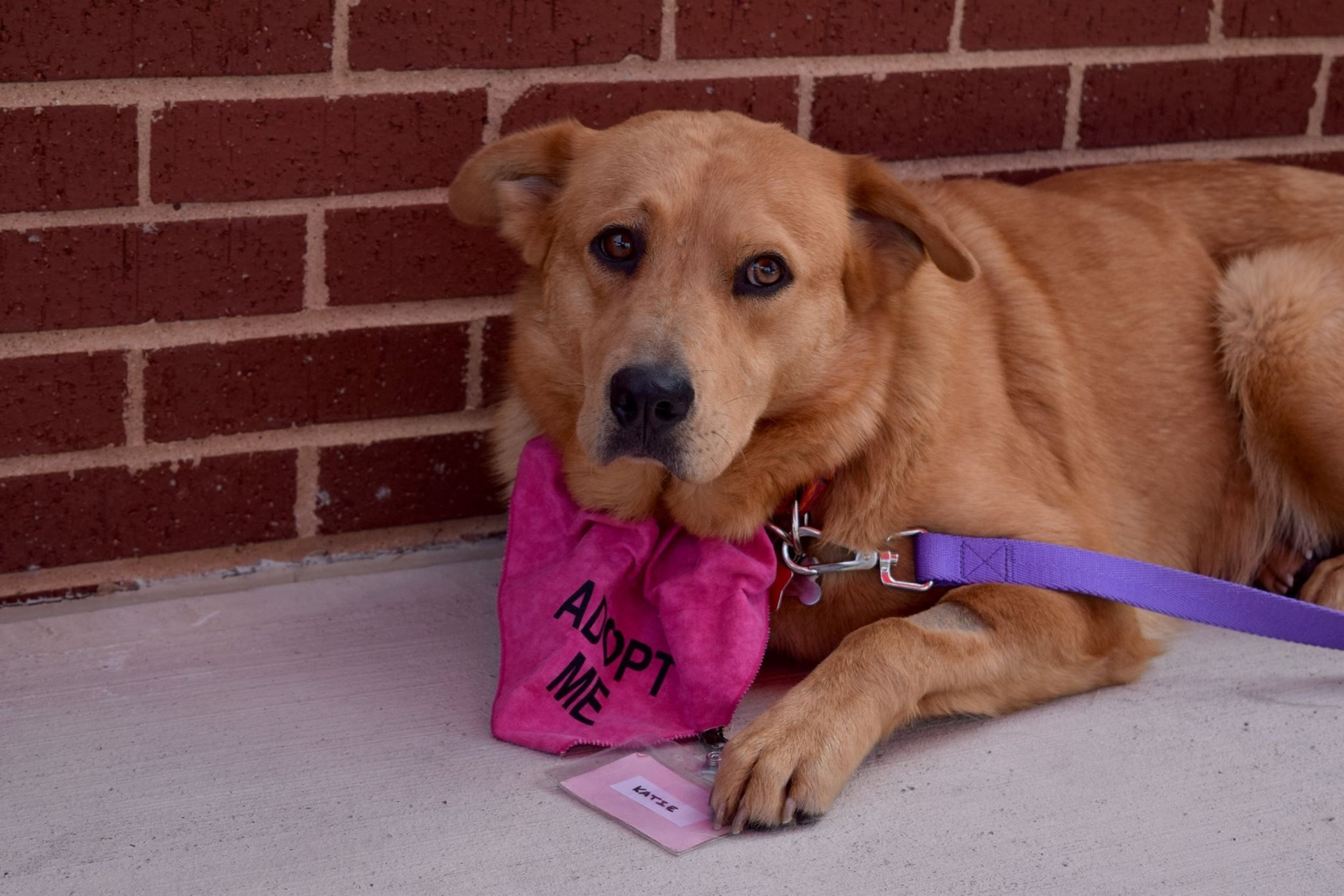 Golden Retriever dog for Adoption in FORT WORTH, TX. ADN