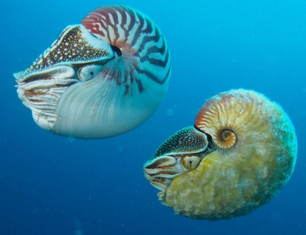 Nautilus pompilius (left) and Allonautilus scrobiculatus (right) floating together, like nowhere else on Earth. (Photo by Peter Ward)