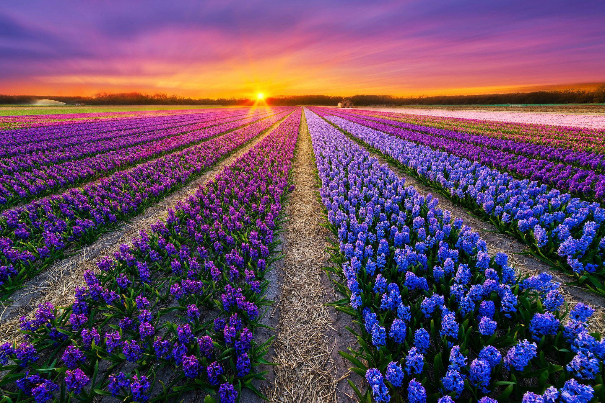 Amazing Flower Fields Download HD Wallpapers