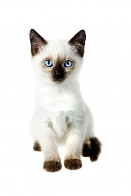 Seal Point Siamese Kitten Siamese Cats Facts Siamese Kittens Cat Facts