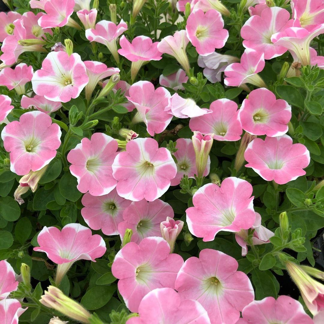 Surfinia Heartbeat Petunia Plant Petunia Plant Plants Petunias